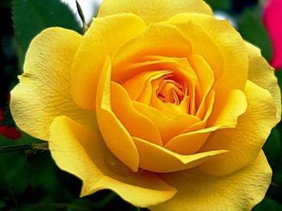 Imagem mostra rosa amarela