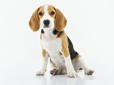 Imagem mostra cachorro beagle com fundo branco