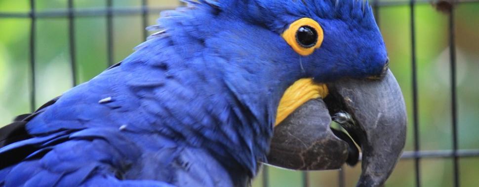 Ararinha Azul é um dos pássaros mais ameaçados. Foto: Pixabay